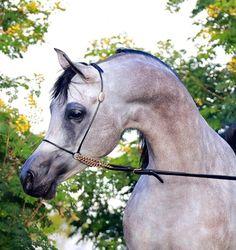 . Arab Models, Horses, Animals, Beautiful, Animales, Animaux, Animal, Animais, Horse