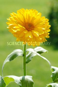 Marigold flower (Calendula officinalis). This plant is commonly used in herbal medicine to treat minor skin wounds, reduce inflammation and to treat eczema. It is also edible.