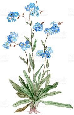 Forget-me-not (Watercolor illustration) royalty-free stock vector art