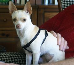 Holly, Chihuahua/Italian Greyhound, 12-24-10, adopted from Adopt-a-Pet, Feb. 28, 2012  #Pets #Dogs