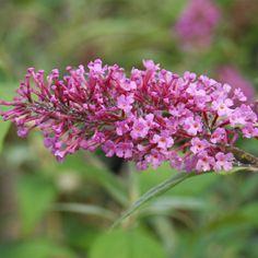 Pink Delight Butterfly Bush | Buddleja davidii Pink Delight Butterfly Bush - 3 litres