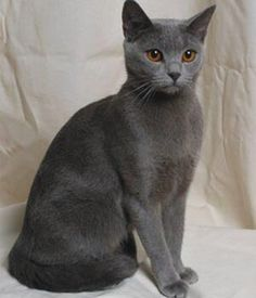 the cat valley :: chartreux – Cats Blue Cats, Grey Cats, Orange Cats, Cross Eyed Cat, Chartreux Cat, Cat Reference, Photo Chat, Cat Photography, Warrior Cats