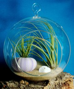 Air Plant Terrarium with Sea Urchin Shell
