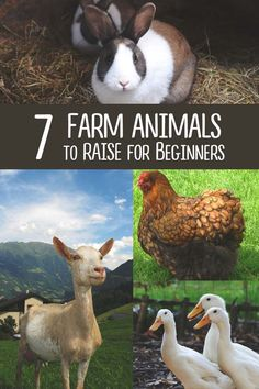 6 Best Farm Animals to Raise (and 1 Not to) When You're Just Starting out Thinking of raising chickens, goats or cows? Read this article to decide which farm animals are the best, as we give you all the input and guides you need. The Farm, Mini Farm, Small Farm, Raising Farm Animals, Raising Chickens, Raising Goats, Raising Ducks, Pet Chickens, Rabbits