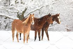 Cute foals on snow-covered meadow by konstantin.tronin on @creativemarket