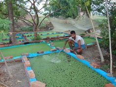 azolla as chook and animal feed, useful native compost, aquaculture