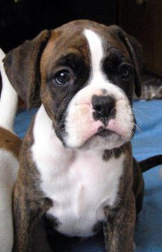 I think I want a boxer over a pitbull Boxer And Baby, Boxer Love, Cute Puppies, Cute Dogs, Dogs And Puppies, Doggies, Boxer Puppies For Sale, Shih Tzu, Dogs Tumblr
