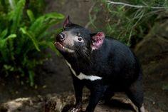 Marsupial nocturne emblématique de la Tasmanie, île du sud-est de l'Australie, cet animal carnivore est frappé depuis 1996 par une maladie, la tumeur faciale transmissible du Diable de Tasmanie (DFTD). Celle-ci est fatale à presque 100%.