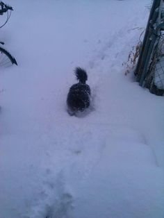 BOSCO, my son's Pomeranian dog in Wichita Kansas 2013 February. snowstorm