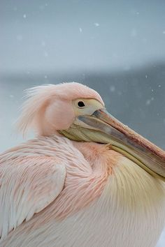 Pink Pelican looking bemused deep in the february snow
