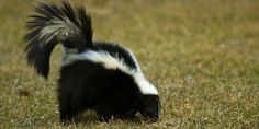 A Mix Of These Simple Household Items Can Get Rid Foul-Smelling Skunk Spray