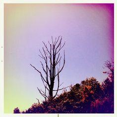 West Coast naked tree