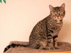 Top 10 Fluffy Cat Breeds List [+Parenting Simplified Tips] Fluffy Cat Breeds, Exotic Cat Breeds, Different Types Of Cats, Kinds Of Cats, Fancy Cats, Cute Cats, Cat Breeds List, Purebred Cats, Ocicat