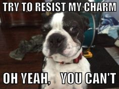 Oh Yeah, You Can't.. ❤❤❤ from: http://bostonterrierworld.com/oh-yeah-you-cant/
