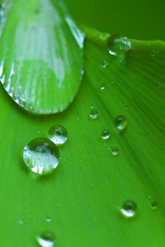 "500px / Photo ""Drop of water on a leaf of the ginkgo"" by takanobu hayashi #green"