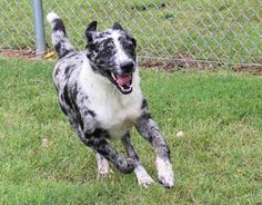 Tuesdays Tails:  Adopt This Catahoula Leopard Hound Mix