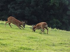Squaring up Roe Deer, Deer Family, Horses, Drawings, Nature, Animals, Running, Google Search, Naturaleza