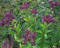 Joe Pye Weed- Eupatorium Purpureum | Rooting for Ideas