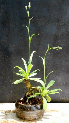 False Dandelion Hypochoeris radicata