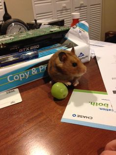 Considering buying a hamster? Learn what you need to know about proper hamster care right here at Budget Earth! Robo Hamster, Hamster Care, Hamster Treats, Hamster Stuff, Hamsters, Rodents, Animals And Pets, Cute Animals, Class Pet