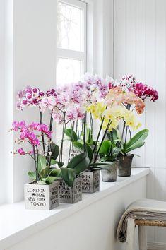 Sehr klassisch, doch schick! #Phalaenopsis