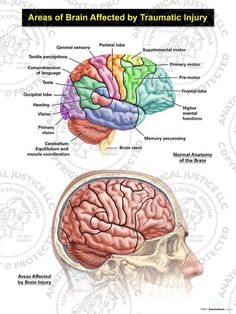 Brain Anatomy And Function, Human Brain Anatomy, Anatomy And Physiology, Anatomy Organs, Lobo Frontal, Brain Lobes, Brain Nervous System, Brain Stem, Brain Science
