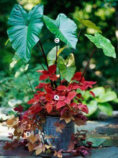 Elephant Ear paired with Coleus and Sweet Potato Vine gives an interesting shape to this container planting.
