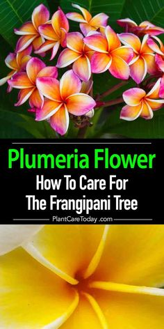 Hawaiian Plumeria tree - Frangipani highly fragrant and beautiful blooms, wide variety of color shades including white, pink, red and yellow. Plumeria Care, Plumeria Flowers, Hawaiian Flowers, Hawaiian Plants, Exotic Flowers, Tropical Flowers, Beautiful Flowers, Growing Flowers, Planting Flowers
