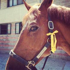 Felisi yellow ribbon dresses up Calaruia! Thank Viola for sharing! #felisi #felisipets #felisibagsandbelts #madeinitaly #ferrara