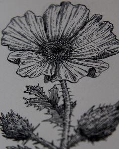 Prickly poppy by Blial Cabal #flower #poppy #illustration