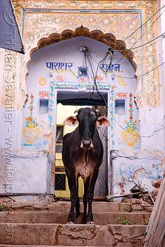DSC09069 - Cow - Pushkar (India) | Flickr - Photo Sharing!