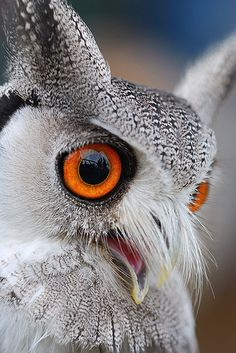 White Faced Scops Owl. Beautiful MOST POPULAR RE-PIN: Very close up portrait of a peacefully watching white owl with bright orange eyes and large beak. Obviously taken with a telephoto lens since this raptor family bird is so calmly watching. RESEARCH #DdO:) - http://www.pinterest.com/DianaDeeOsborne/animals-of-a-different/ - ANIMALS OF A DIFFERENT.  It has been widely accepted that 216 species of owls exist today. Photo Credit: HOOT - by Andy Drake. Pin photo via Karen Harrison.