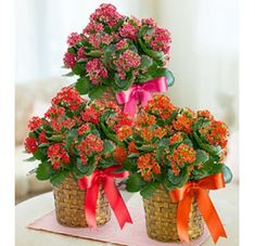 Kalanchoe Plant from Led Lantern, Lanterns, Birthday Delivery, Gifts Delivered, Wicker Baskets, Woven Baskets, Birthday Gifts For Her, Summer Parties, Basket Weaving
