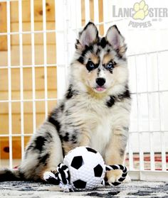 #Pomsky #Charming #PinterestPuppies #PuppiesOfPinterest #Puppy #Puppies #Pups #Pup #Funloving #Sweet #PuppyLove #Cute #Cuddly #Adorable #ForTheLoveOfADog #MansBestFriend #Animals #Dog #Pet #Pets #ChildrenFriendly #PuppyandChildren #ChildandPuppy #BuckeyePuppies www.BuckeyePuppies.com New Puppy, Puppy Love, Mini Huskies, Pomsky Puppies For Sale, Lancaster Puppies, Great Memories, Sweet Girls, Mans Best Friend, Snuggles