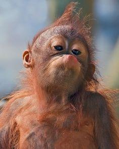 Cheeky-faced Baby Orangutan with w Kwif Hairdo