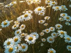 daisies ...