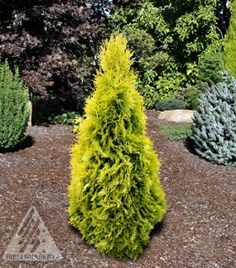 <em>Thuja occidentalis </em>'Jantar' at the Jean Iseli Memorial Garden, Boring, Oregon.  | Photo by Iseli Nursery, Inc.