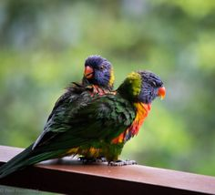 I know where the term 'birds and the bees' comes from after watching these two rainbow lorakeets on my balcony this afternoon! Birds And The Bees, Whole Food Recipes, Balcony, Cute Animals, Backyard, Rainbow, Terrace, Pretty Animals, Yard