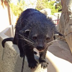 A binturong is also known as a bearcat because they kind of look like what you might get if you could mix a bear & a cat together.  (Pic from @Rick Schwartz twitter feed)