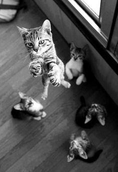 Jumping Cat cute black and white animals cat cats animal animal pictures feline