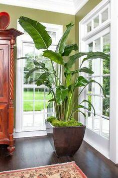 "Paradise White Bird 4""Pot Full Sun Plant Tree Garden Houseplant Indoor/Outdoor | eBay"