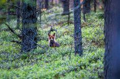 Kettu | Suomen Luonto