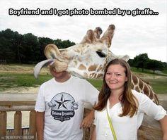 Funny Photobombing Giraffe Who teaches them this.