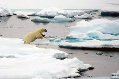 The beauty of the North Pole - polar bear in action.