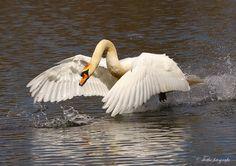Swan Pictures, Beautiful Swan, Birds, Tatoos, Ballerina, Beauty, Fotografia, Swans, Ballet Flat