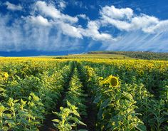 Sunflower fields, Serbia; by svetslike
