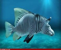 tropical fish LOOKS LIKE A ZEBRA