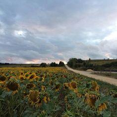 Caminando entre girasoles en Agroturismo  Arkaia, junto a Vitoria - Gasteiz, turismo rural #conalma #inclusivo #responsabilidad #sostenibilidad