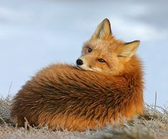 """darkelf-whitewitch: """" beautiful-wildlife: """" Red Fox Waking From A Nap by Gary Lackie """" """""""