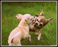 Chihuahuas having fun